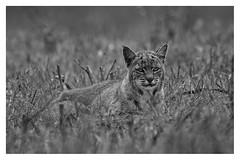 Bobcat (lennycarl08) Tags: pointreyesnationalseashore pointreyes california marincounty nature wildlife animalplanet animals blackandwhite bobcat wildcat kitty