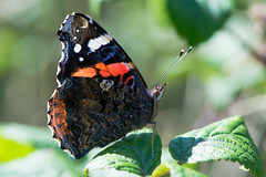 Red admiral butterfly (Vanessa atalanta) backlit by sun (Ian Redding) Tags: british european fauna nature nymphalidae uk vanessaatalanta wildlife backlit butterfly insect invertebrate orange redadmiral rest sun sunlight underside white wings