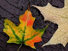 Contrasts (09 22 2016) (PhotoDocGVSU) Tags: fall autumn fallcolor autumn2016 leaves maple westmichigan canon5d3 sigma50500os bigma duttonshadysidepark macro closeup wet