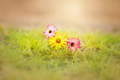 three moments (oze-lito) Tags: ozelito flores flowers colors grass macro canon canonef100mmf28lmacroisusm
