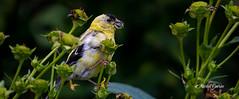 Chardonneret jaune - American Goldfinch - juvenile (MichelGurin) Tags: 2016 americangoldfinch canada chardonneretjaune exterior extrieur lightroomcc michelgurin nikkor200500mmf5 nature nikcollection nikon parcdesrapides qc qubec septembre spinustristis bird oiseau t montral ca
