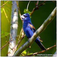 Blue grosbeak (RKop) Tags: a77mk2 600mmf4apogminolta armlederpark ohio cincinnati raphaelkopanphotography sony