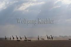 10076051 (wolfgangkaehler) Tags: 2016africa african eastafrica eastafrican kenya kenyan amboseli amboselikenya amboselinatlparkkenya amboselinationalpark wildlife mammal giraffe giraffes giraffacamelopardalistippelskirchi herd tower group burchellszebra burchellszebraequusquagga burchellszebras dust dusty duststorm duststorms
