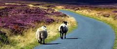 Follow the leader (Elizabeth Story) Tags: heather purple road grass sheep ewe north yorkshire moors