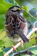 White-throated Sparrow (dhollender) Tags: blueheronfarm whitethroatedsparrow bird