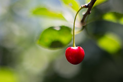 Cherry (Vadim Tsymbalyuk) Tags: depthoffield cherry fruit plant bokeh outdoor closeup close zuiko 50 14 canon 6d