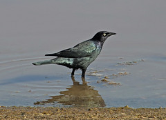 Common Grackle (Quiscalus quiscula) (Ron Wolf) Tags: commongrackle icteridae owenslake owensvalley quiscalusquiscula bird nature wildlife inyocounty california rarity