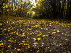 Autumn comes... (Hasan Yuzeir) Tags: autumn comes forest leaf hasanyuzeir samsung galaxy phone tree yellow color