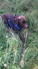 Hudson Resting with his Stick (Filmstalker) Tags: dog chocolate chocolatelabrador labrador mobile stick grass hudson hudsonbrunton