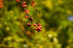 Fruits of October (Xu@EVIL Cameras) Tags: enna ennalyt 50mm f19 socket ver1 exakta fruits fall autumn october