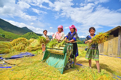 289405793 (Nht Bo Trung) Tags: agriculture asia asian barley carry country countryside cow crop cultivate development falls farm farmer farmland field giang golden grain grow ha hard harvest hat human land lombok natural nature outdoor peasant people plant poor poverty produce rice rural sapa stems straw traditional travel vietnam wheat woman work