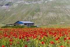 poppies (Fr@tes) Tags: castellucciodinorcia castelluccio colori colors explore canon eos fioritura