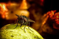 """""""I Love This Tasty Sweet Apple"""" (Laulik) Tags: macromondays sweetspotsquared fly insect apple sweet nature colors colorful macro close extensiontube f8 260mm"""