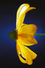 Blumentag (photograph-painter) Tags: blume flower nigth light green color yellow backlight
