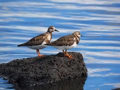 Ruddy turnstones (Hone Morihana) Tags: westerntreatmentplant shorebirds migratorybirds ruddy turnstone