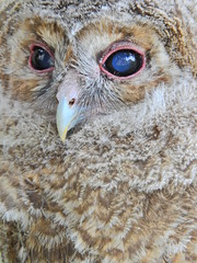 Ol' blue eyes (Couldn't Call It Unexpected) Tags: wise owl sage blue eyes nature