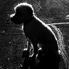 Rimlighted (Eric.Ray) Tags: maggiemae dog rimlight panasonic pet 365 project square animal