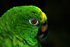 IMGP9437 Green Parakeet (tsuping.liu) Tags: outdoor organicpatttern blackbackground birds green animal photoborder perspective nature natureselegantshots naturesfinest coseup