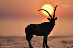 ANTILOPE    in explore (Salvatore Lo Faro) Tags: alba natura nature sole giallo antilope africa salvatore lofaro nikon 7200