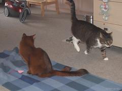 My blanket - for Happy Caturday (Finn Frode (DK)) Tags: cats blanket pose toy caithlin dusharacathalcaithlin somali somalicat som bastian mixedbreed domesticshorthair olympus omdem5 denmark animal pet cat lndoor happycaturday