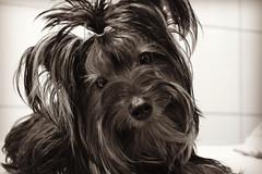 (quadros_larissa) Tags: yorkshire yorkie puppy dog red terrier