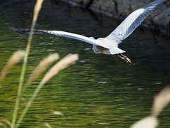 Grey heron () (Greg Peterson in Japan) Tags: yasu rivers oyamakawa wildlife birds egretsandherons shiga japan shigaprefecture jpn