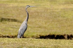 Being There (brev99) Tags: bird greatblueheron highqualityanimals tamron70300vc d7100 portrait