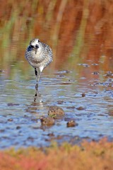 Grey Plover (Ady G.) Tags: 1d4 dorset rspblodmoor weymouth wader plover canon greyplover