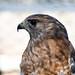 Red-shouldered Hawk (Aark)