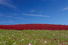Three line (t.kunikuni) Tags: jp       japan ibarakiken ibaraki hitachinaka hitachinakashi hitachiseasidepark  cosmos   summercypress  red