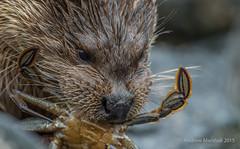 Otter (Lutra lutra) (Gowild@freeuk.com) Tags: otter mammal sea ocean animal nature wild wildlife mull isleofmull scotland scottish uk british photography andrewmarshall nikon lutralutra water aquatic
