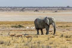 Elefante (Carlos Gaiteiro) Tags: namibia namib etosha animal wildlife elefante elephant gacela springbok mamfero