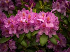 Rhododendron-9 (olipennell) Tags: blte botanischergarten mnchen nymphenburg pflanze rhododendron bayern deutschland de