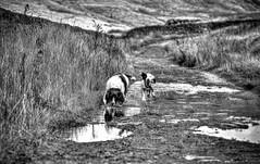 Mollie Munch & Rupert Bear (Missy Jussy) Tags: mollie rupert dogwalk dogs hills puddle springerspaniel spaniel englishspringer animals pets lancashire landscape saddleworth yorkshire england mono monochrome blackwhite bw blackandwhite canon canon70200mm