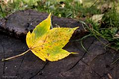 Yellow Leaf (ambrasimonetti) Tags: yellow leaf macro foglia giallo autunno saveearth