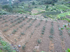 Taipei (Maokong St. - Camphor Trail), Taiwan (Jan-2016) 26-004 (MistyTree Adventures) Tags: taiwan taipei panasoniclumix asia outdoor teaplantation cameliasinensis greentea plant field camphortrail
