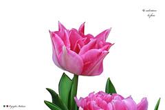 I COLORI DELLA NATURA. (Salvatore Lo Faro) Tags: natura nature fiore tulipano rosso verde bianco bellezza salvatore lofaro nikon 7200