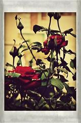 "RoSeS & RaIn (PlLrD-3) (QuietWalker ""crisis on Mars"") Tags: roses rosas rosa red redblur rojo rain arainyday undertherain 2012 octubre october2012 october casualencounterswithnature casualencounterstonature lostwalker contemplation contemplating contemplación polaroids polaroid canonpowershot canon canonpowershotsx220hs textura texture autumne autumnscene autumn2012 otoño autumn"
