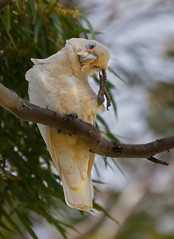 Now, let me think about that! (Trace Connolly) Tags: australia australian australiasouthaustralia australianbirds birds bird birdsofaustralia australiananimals corella canon canon7d environmentalphotography flickr gold bowhill river rivermurray rivergums nature naturephotography native sigma southaustralia sigma120400mm yellow white sigma120400mmf4556apodgoshsm cacatuasanguinea