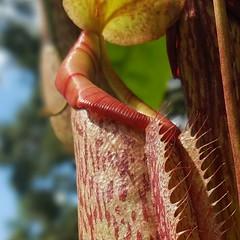 Bug Eater Plant (Helen) Tags: macromondays edge nepenthes tropical pitcherplants monkeycups carnivorous asianpitcher bugeater flower plant lakewales florida boktowergardens centralflorida garden