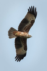 Juvenile Brahminy Kite (BP Chua) Tags: bird eagle kite raptor animal fly wings wingspan brahminy brahminykite juvenile singapore asia bikon d750 wild wildlife nature sky