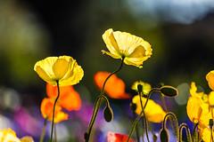 Iceland Poppies (Shantha64) Tags: iceland poppies botanical garden ballarat