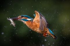 Breakfast..... (Mr F1) Tags: result kingfisher alcedoathis fish bif birdsinflight johnfanning bird electric blue wild prey 1dx 100400mmlens breakfast