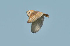 Barn Owl (image 1 of 3) (Full Moon Images) Tags: woodwalton fen greatfen bcn wildlife trust nnr national nature reserve cambridgeshire bird prey birdofprey flight flying barn owl