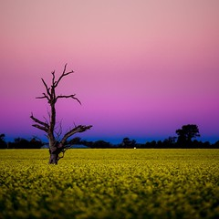 Canola field at sunset. Wagga Wagga,  New South Wales, Australia. Nikon D750 (Theresa Hall (teniche)) Tags: australia canberra nsw newsouthwales riverina teniche theresahall wagga waggawagga canola canolafields country countryside crop crops dusk farm farming farms field fields flower flowers oil outdoor outdoors pinksky sky sunset tree yellow yellowflower yellowflowers
