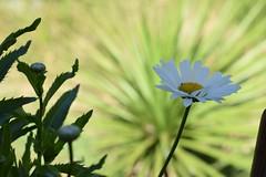 Margarita (dianarivera4) Tags: flormargarita margarita floracin flowers flor flora huajuapan huajuapandelen oaxaca mxico flickr 50mm nikond3300 nikon airelibre planta