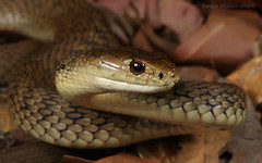 Rough scaled snake (Tropidechis carinatus) (Jordan Mulder) Tags: rough scaled snake tropidechis carinatus highly venomous elapid mid north coast nsw wildlife
