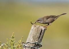 Fauvette mlanocphale (m-idre31 - 5 millions de vues merci) Tags: oiseau bird chenille gruissan aude fauvettemlanocphale