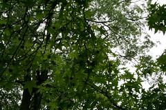 sweet gum leaf canopy and seedpods (wmpe2000) Tags: 2016 ct summer daytrip hartford elizabethpark gardens rosegarden tree sweetgum liquidambarstyraciflua altingiaceae orderaltingiaceae leaves seedpods
