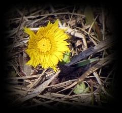 Colts Foot (HJsfoto) Tags: flowers spring tussilago svast macroflowerlovers auniverseofflowers coltsfoot